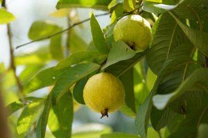 Goiaba: fruta do inverno